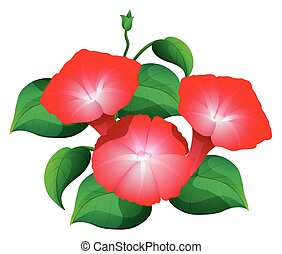 Morning glory flower in red color illustration