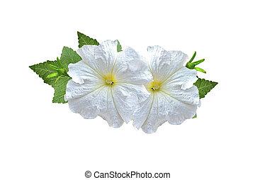 morning glory. Flowers Isolated on White Background