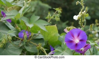 morning glory in lush wild leaves.agriculture farmland at rural.