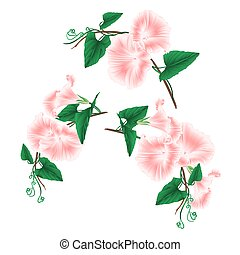 Morning glory pink spring flowers vector.eps - Morning glory...