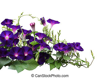 Morning Glory Plant - Morning glory flower plant in the ...