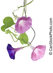 morning glory - Studio Shot of Blue and Pink Colored Morning...