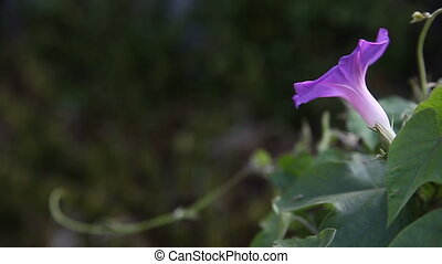 morning glory vine - a purple and white morning glory with...