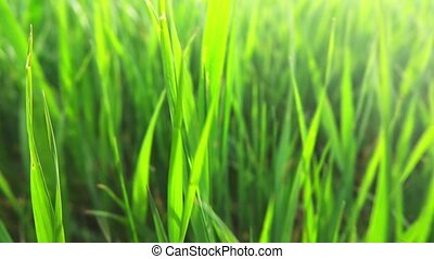 Morning grass, slow motion - close-up shot of perfectly...