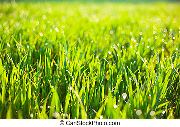 morning green grass in the sun with dew drops and beautiful bokeh background