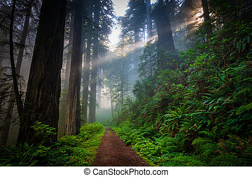 Morning hike in the redwood forest