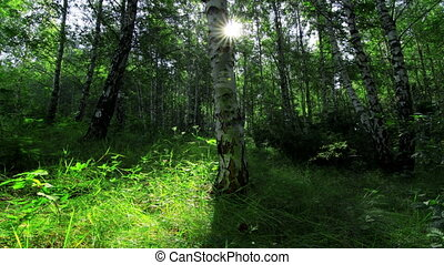 forest - morning in a birch forest