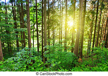 Sun in the pine forest.