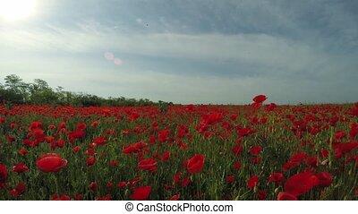 Morning In The Poppy Field