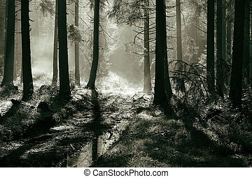 morning light in spruce forest
