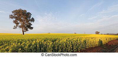 Morning light over Canola Field