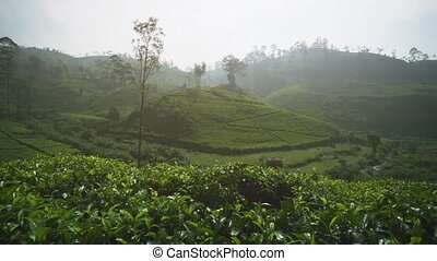 Morning Mist over a Hillside Tea Plantation in Sri Lanka -...
