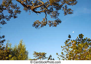 Morning moon and pine branches