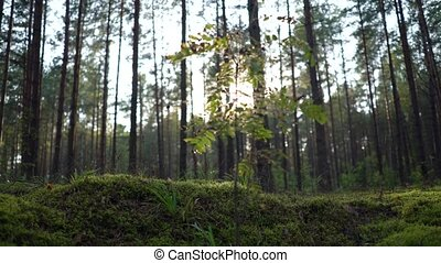 Morning or evening, sunrise sunset in the wild forest. Sunlight sun's rays shines through the leaves and trees. Moss, grass, cobwebs, spider web in focus and defocus
