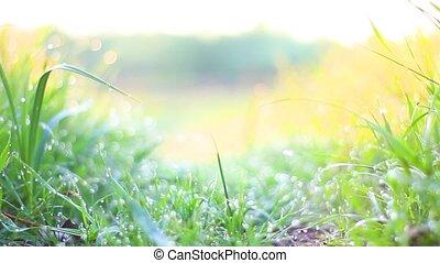 morning spring dew on green grass, spring day