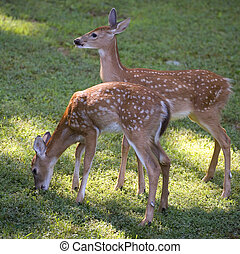 morning stroll - a pair of whitetail fawns out in early...