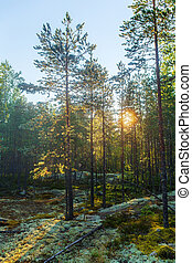 morning sun in the coniferous forest