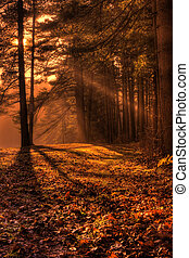 Morning Sun Rays in the Forest - Shafts of morning sunlight...