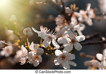 Morning sun rays on blossomed branch of tree