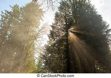 Morning Sun Rays Through the Trees