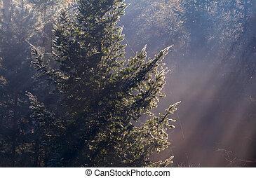 sunbeams in coniferous foggy forest