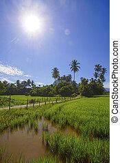 Morning sunlight in a green paddy field .