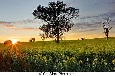 Morning sunrise over Canola