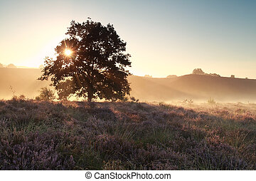 morning sunshine on heather flowering hill