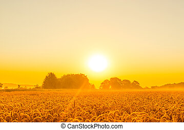 Morning sunshine over a wheat field