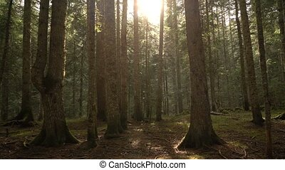 Morning walk in the spruce forest. Autumn in the mountains....