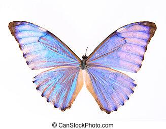 morphidae:blue, lila, papillon, freigestellt, auf, a, weißer...