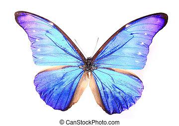 morphidae:dazzling, vlinder, blauwe , kleuren