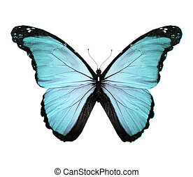 Morpho blue butterfly , isolated on white