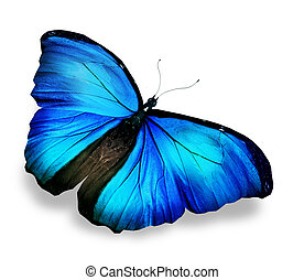 Morpho blue butterfly