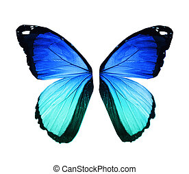 Morpho blue butterfly wings