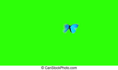 Morpho Menelaus Blue Butterfly Flying on a Green Background....