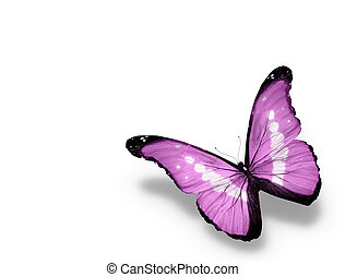 Morpho violet butterfly , isolated on white background