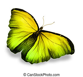Morpho yellow butterfly
