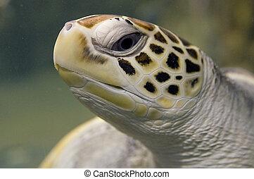 morski żółwiowy