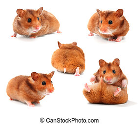 morsom, samling, hamsters