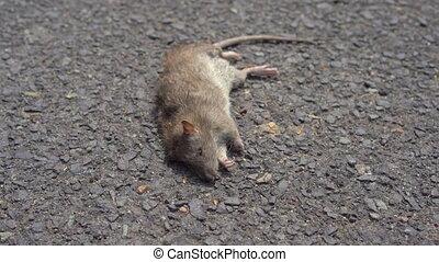 mort, concept, rat, rats, ground., pose, poison