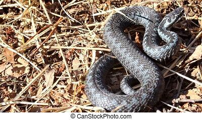 Mortal danger: northern European viper attacks - Viper...