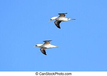 (morus, bassanus), gannets, nord
