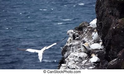 Morus bassanus gliding close to cliffs with nests in slow-mo...