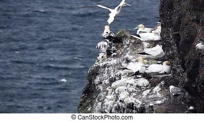 Morus bassanus gliding near the cliffs and seagull falling...