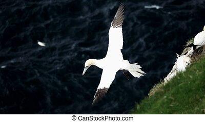 Morus bassanus gliding near the cliffs over the ocean - ...