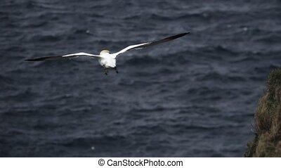 Morus bassanus rear view flying over ocean in slow-mo - ...