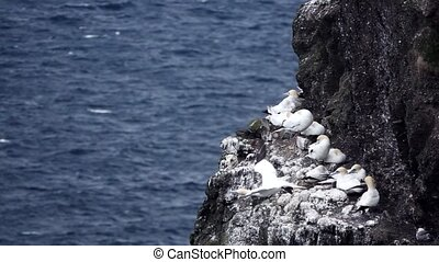 Morus bassanus starts flying from the cliffs with nests in ...