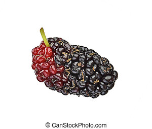 Morus (mulberry) on white background