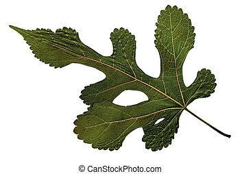 Morus nigra in herbarium - Pressed and dried leaf of the ...